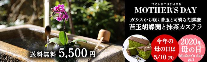 苔玉胡蝶蘭と宇治抹茶カステラ